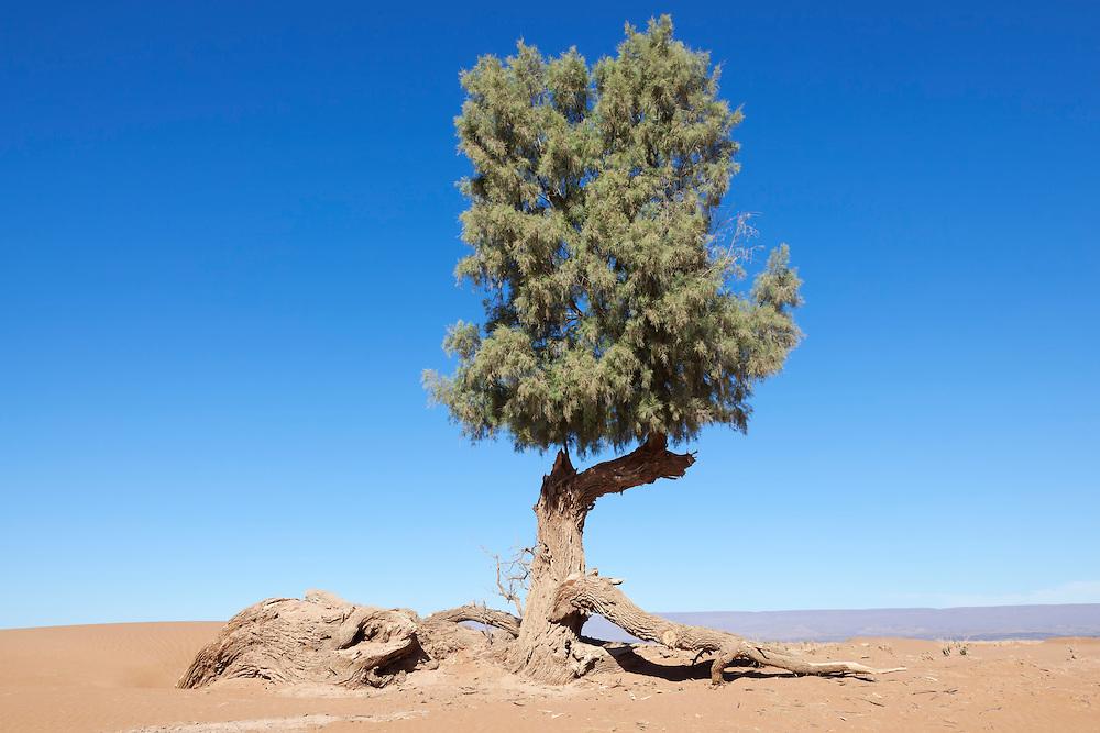 A single Tamarisk tree (Tamarix articulata) in the Sahara desert against clear blue sky.