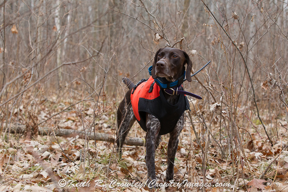 Bob St. Pierre's GSP, Esky, on point while hunting pheasants on a Minnesota public hunting area.