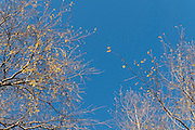 Late Autumn leaves on blue