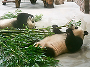 China, Sichuan. Chengdu Research Base of Giant Panda Breeding 成都大熊猫繁育研究基地. Pandas staying inside in their airconditioned habitat due to high outside temperatures, eating bamboo.