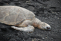 Hawaii, Turtle basking on beach