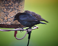 Male Brown-headed Cowbird. Image taken with a Nikon D5 camera and 600 mm f/4 VR lens (ISO 1600, 600 mm, f/4, 1/800 sec).