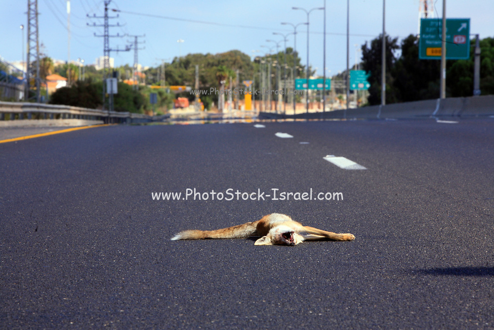 Israel, Roadkill of a Sand Fox Vulpes rueppellii on a moterway