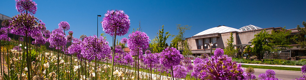 York St. view with Allium blooms