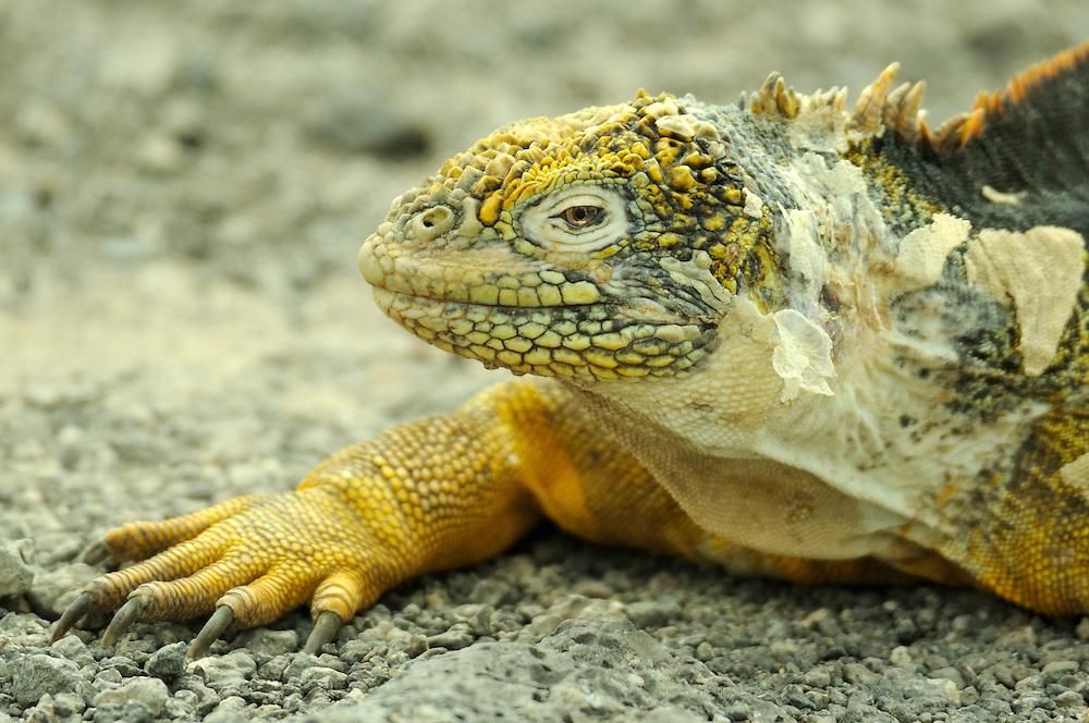 Galapagos Land Iguana (Conolophus Subcristatus), South Plaza, Plazas Island, Galapagos Islands, Ecuador