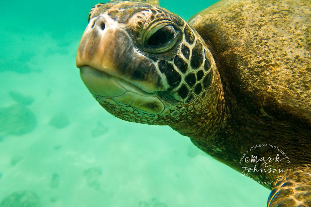 Green sea turtle, North Shore, Oahu, Hawaii
