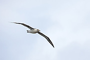 Laysan Albatross in flight, Kilauea Point, Kaua'i