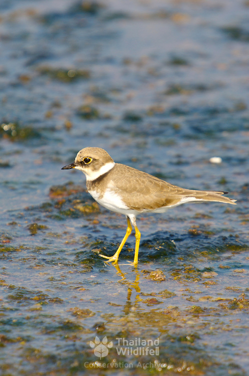 Little Ringed plover, Charadrius dubius at Petchaburi, Thailand.