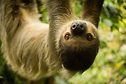 Portrait of a southern two-toed sloth (Choloepus didactylus). captive. Range: Tropical forests of Central America snf northern South America.