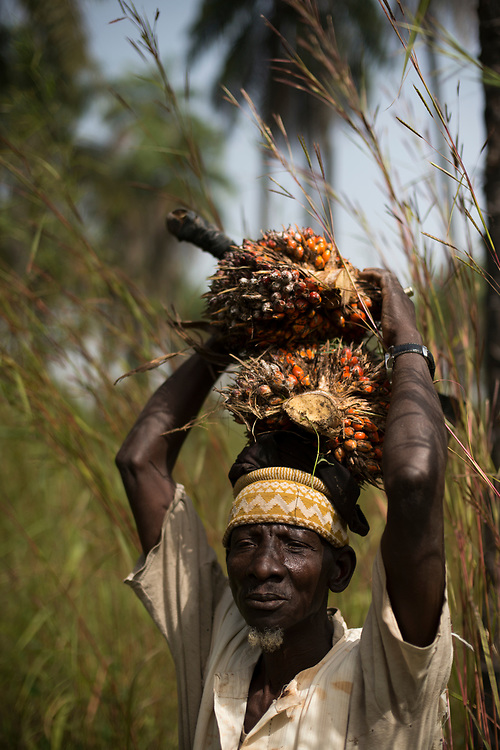 A villager carries two palm seed pods on his head after harvesting them from wild palm trees in the forest near his community. The inhabitants of the commune of Ouonck consider the forest sacred. The production of artisanal palm oil and palm oil products from wild palm groves is an important part of their livelihoods, but they manage the exploitation of the natural resource in a sustainable way. Despite a high level of poverty and a lack of basic services, the community is attempting to develop their quality, natural products rather than ceding to more industrial economic development that could endanger the forest and their way of life. Mandouard II, Ouonck, Senegal. 03/12/2015.