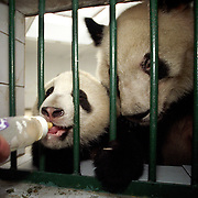 A zoo keeper feeds six-month-old male panda Shi Shi...The diet of Shi Shi, a product of artificial insemination, is supplemented with 150 ml of cow's milk twice a day. The baby's main nutrients come from the milk of his mother, fourteen-year-old Chen Chen (R).  ..Photo taken in Chengdu, China in 1999. The picture is part of a photo and text documentary on the artificial insemination of giant pandas by Justin Jin. For more information, email justin@justinjin.com