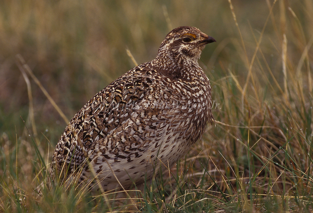 Sharptail grouse. Benton Lake National Wildlife Refuge, Montana.