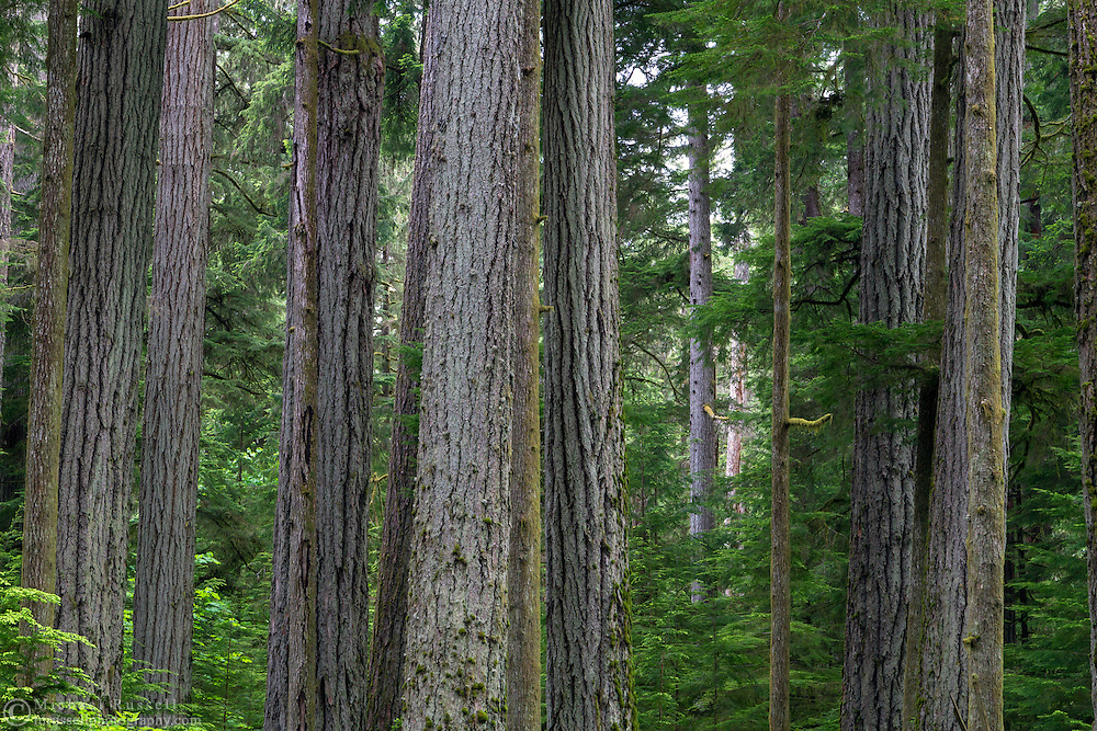 Tree trunks in the forest at Cathedral Grove in Macmillan Provincial Park - Port Alberni, British Columbia, Canada