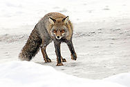 In winter, a fox's diet usually consists of rabbits and small rodents, but this cross fox was also a master duck hunter.  Covered in ice from his leaps into the creek, the cross fox prowled the frozen shoreline in search of unsuspecting mallards swimming in the small stretches of open water.