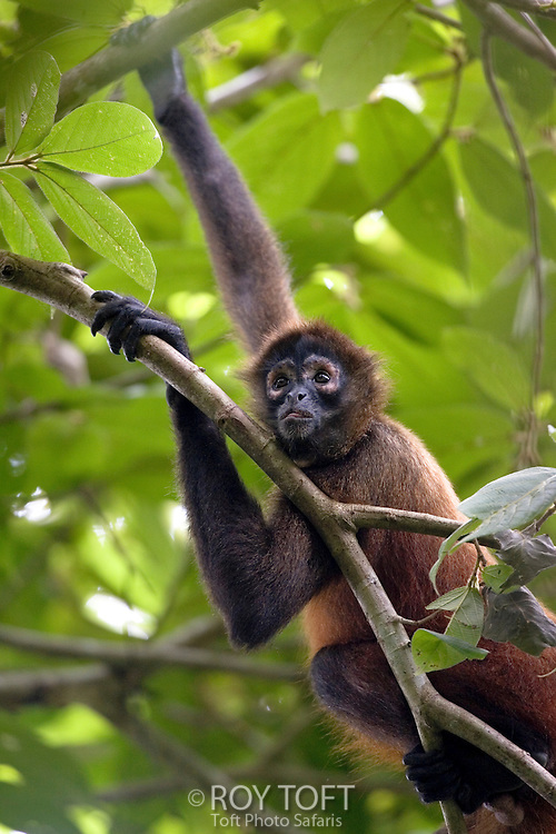 Spider monkey hiding in the trees, Osa Peninsula, Costa Rica