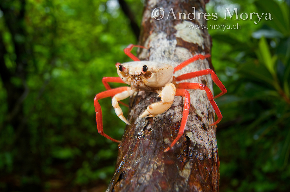 Forest Crab (Madagapotamon humberti), adult, Montagne des Français Reserve, Antsiranana, Northern Madagascar Image by Andres Morya