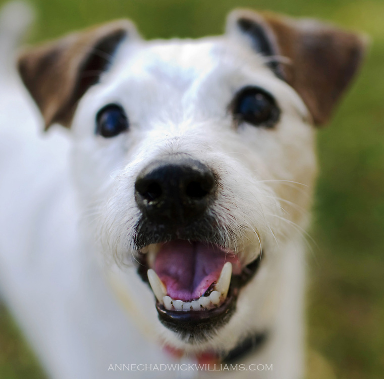 A Parson Jack Russell smiles.