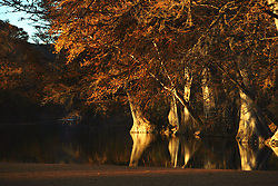 Stock photo of Bald Cypress - Taxodium distichum - Frio River, Leakey, TX in the Texas Hill Country