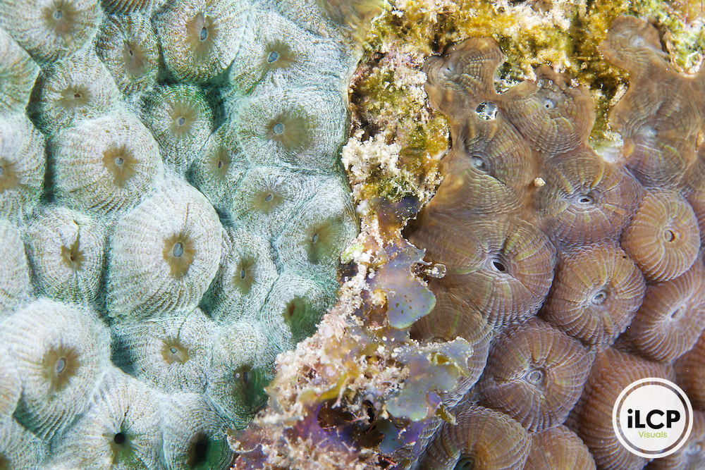 A closeup view of two corals of the same species. On the left, the coral polyps appear bleached.  The coral polyps on the right appear healthy and are its normal coloration.  In the center is some algae that is colonizing space between the two colonies.