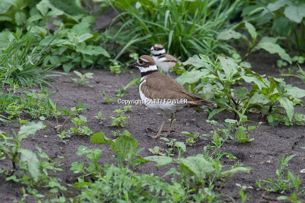 Killdeer in grass with juvenile