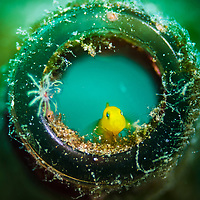 A yellow goby in a discarded beer bottle. Image made in Anilao, Philippines