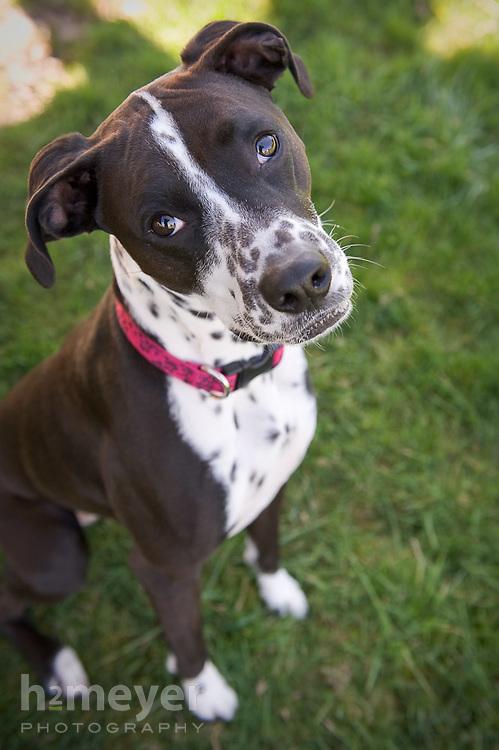 Dalmation Boxer mix.  Owner - Anna Wood , Pet Portrait Photography