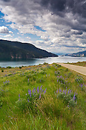 Lupines along the road to Kekuli Bay Provincial Park on Kalamalka Lake near Vernon, British Columbia, Canada