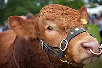 Cow<br /> Royal Welsh Show 2011<br /> Llanelwedd<br /> Powys<br /> Mid<br /> Events