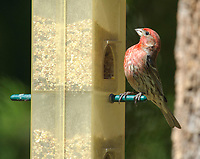 Purple Finch (Carpodacus purpureus)at bird feeder, Gabriola, British Columbia, Canada.    Photo: Peter Llewellyn