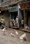 Four white stray dogs in Old Delhi, India.