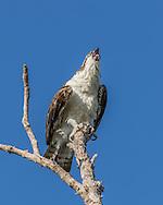 Osprey vocalizing, with nictating membrane over eye, © 2015 David A. Ponton