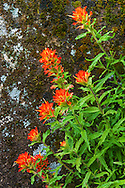 Indian Paintbrush wildflowers, moss, and lichen, Feather Falls Scenic Area, Plumas National Forest, Butte County, California