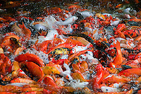 Hundreds of Koi are sent into a feeding frenzy when fish food pellets are dropped into the water by tourists.