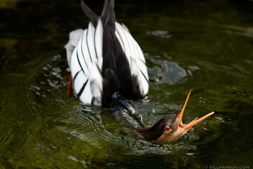A bird at the San Diego Zoo issues its mating ritual in a futile attempt to win over a female of another species.