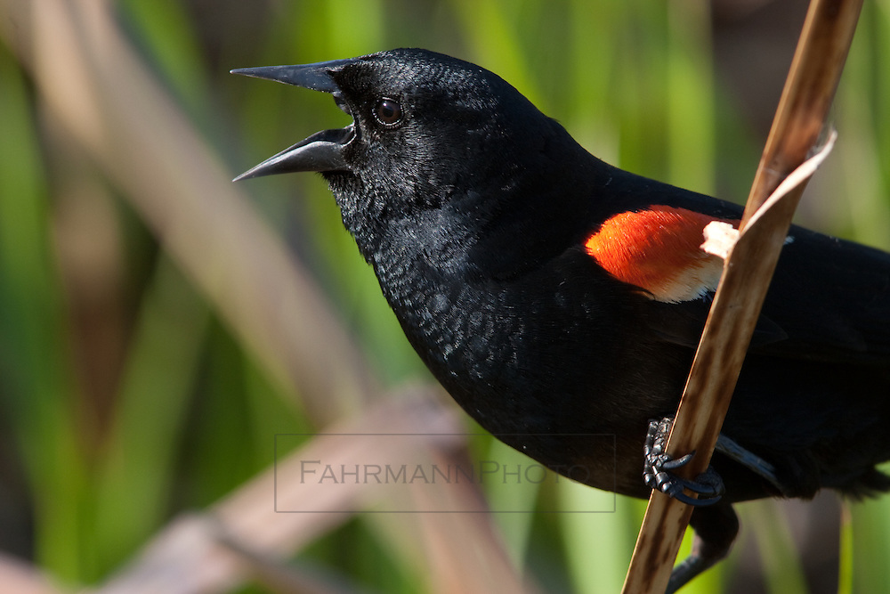 Close-up of a Red Winged Blackbird as it vocalizes its displeasure with my proximity