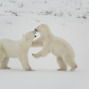 Polar Bear (Ursus maritimus) two bears wrestle during a play fighting session along the shores of Hudson Bay, near Churchill, Manitoba, in November