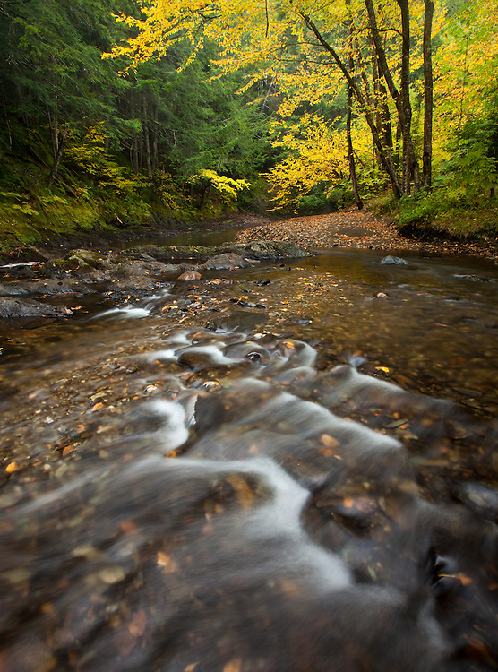 vibrant yellow foliage graces the north branch of the winooski river in northern Vermont
