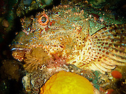 Northern Scorpionfish, Poor Knights Island, New Zealand