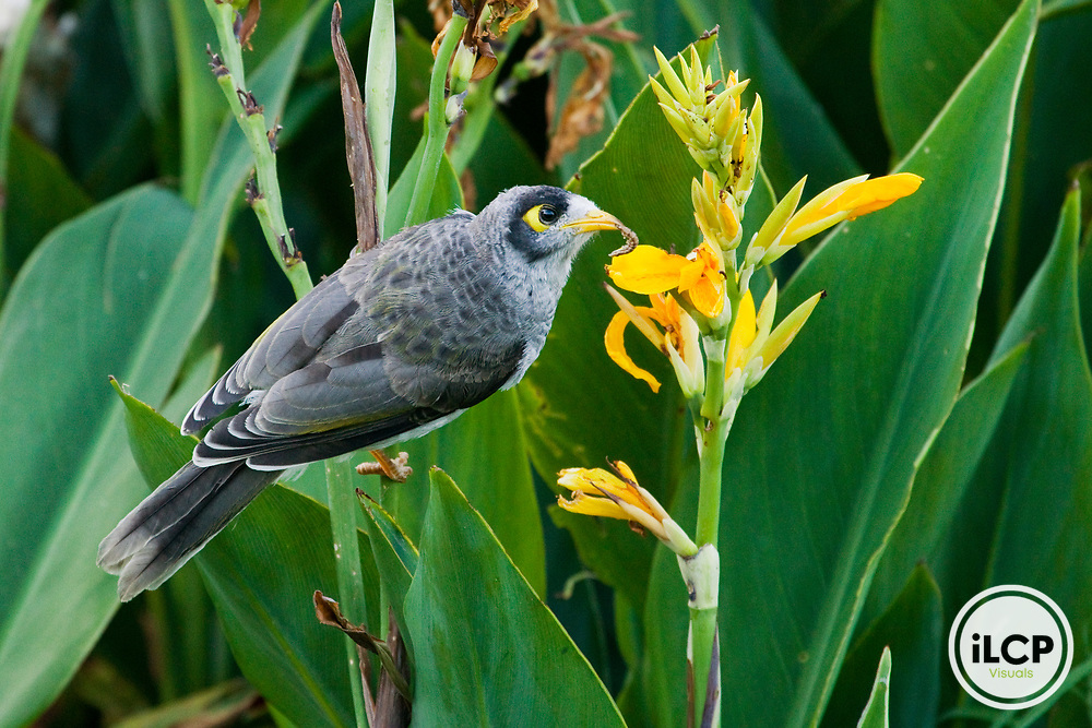 Noisy Miner (Manorina melanocephala) with beetle larva prey, Royal Botanic Gardens, Sydney, New South Wales, Australia