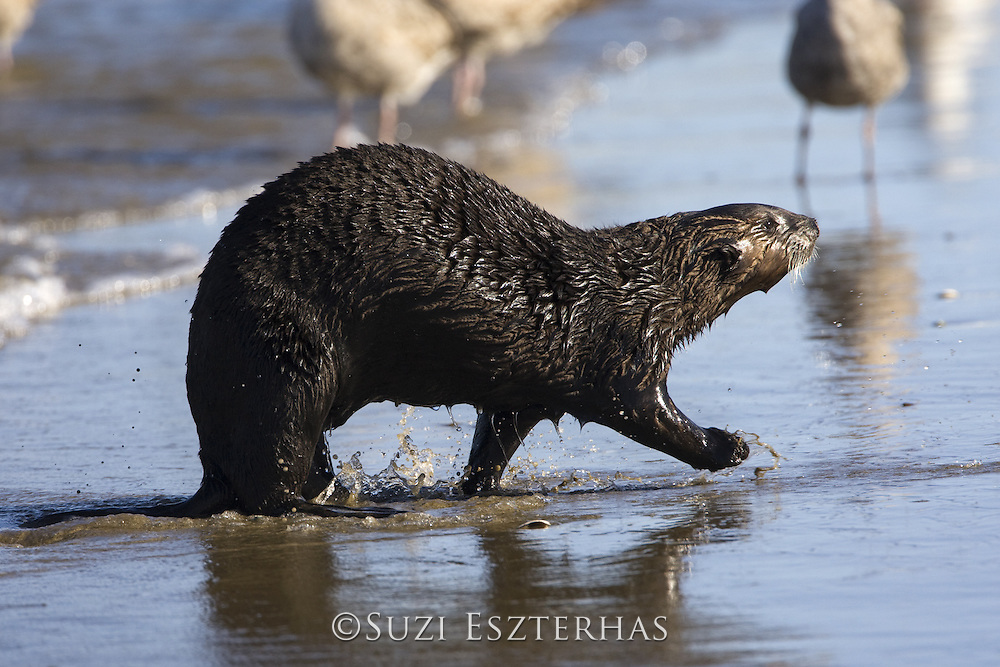 Southern Sea Otter<br /> Enhydra lutris<br /> Coming up onto shore<br /> Monterey, CA, USA