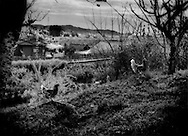 Chickens roam free inside the 20 km (12.4 miles) nuclear no-entry zone after being set loose by a farmer who has evacuated.  Domesticated animals of many kinds had to be left behind during the hasty evacuation after the 12 March hydrogen explosion at the Fukushima Daiichi Nuclear Power Plant.  Near Odaka, Fukushima Prefecture, Japan.  As of midnight 21 April 2011, the Japanese government declared the no-entry zone off-limits under the Disaster Countermeasures Basic Law which gives the police the power to detain anyone entering the zone for up to 30 days and impose a fine of up 100,000 JPY (US$1,200), which was exactly the risk necessary to take to make this photograph..
