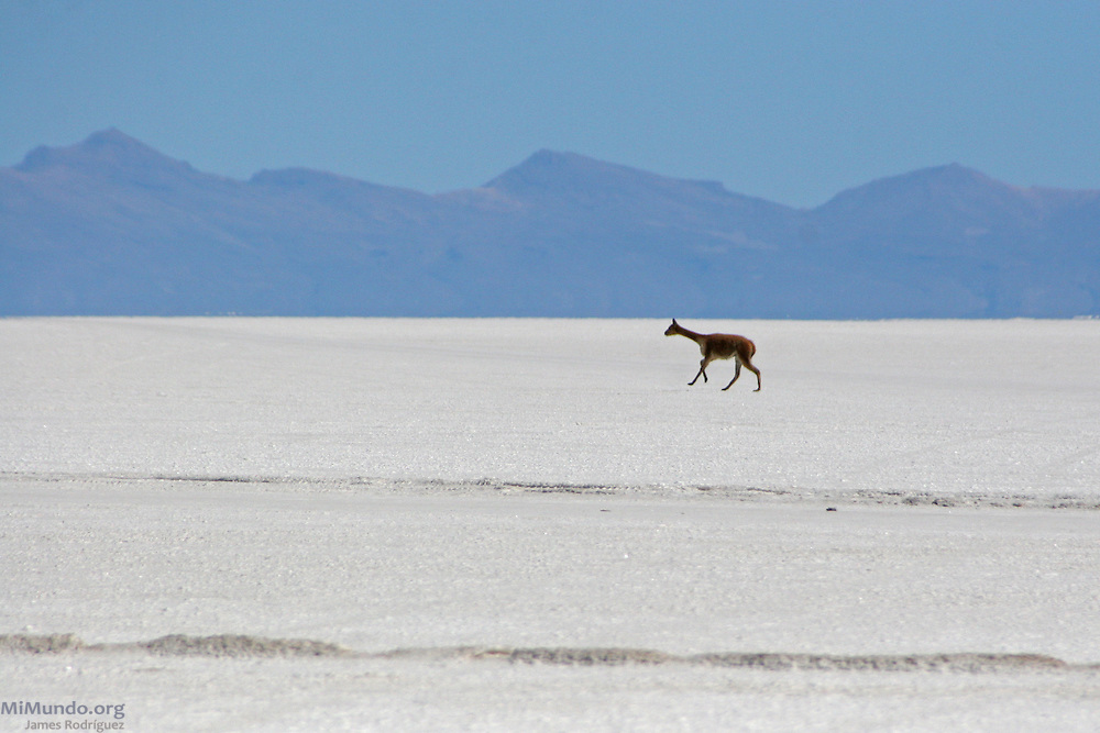 A Llama runs across the Salar de Uyuni, the world's largest salt flat. The Salar de Uyuni sits at 3,600 meters above sea level and has a total surface area of 10,582 square kilometers.