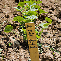 Young Zephyr zucchini plants with a row marker giving the date of planting.