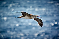 Brown Booby flying beside the MV World Odyssey as we crossed the Pacific Ocean.  Image taken with a Nikon 1 V3 camera and 70-300 mm VR lens (ISO 160, 300 mm, f/5.6, 1/500 sec).