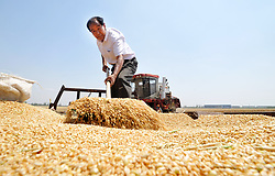 June 11, 2017 - Cangzhou, China - A farmer arranges harvested wheat in Nanpi County, north China's Hebei Province. More than 70 percent of summer wheat have been harvested across the country. (Credit Image: © Mu Yu/Xinhua via ZUMA Wire)