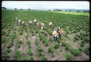06: FARMING PEPPER HARVEST