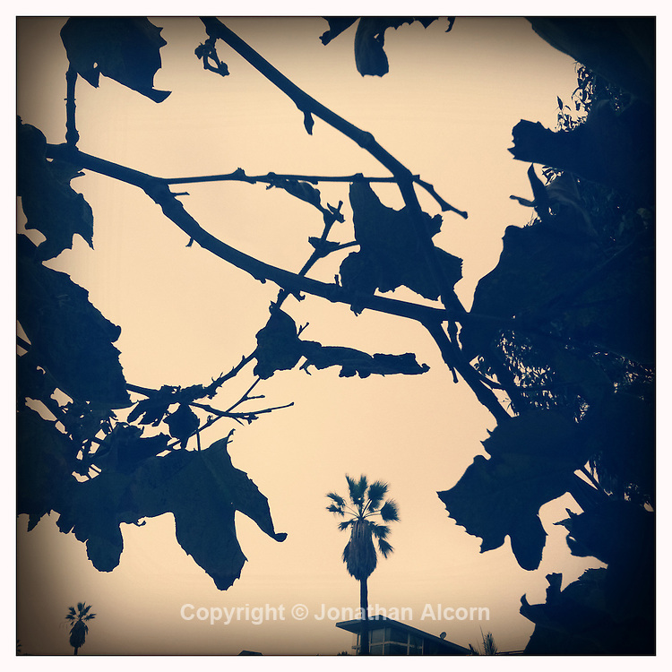 Leaves and palm tree in  Venice Beach