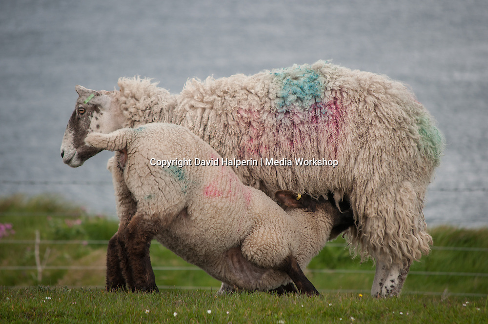 Ewe with two lambs at the teat