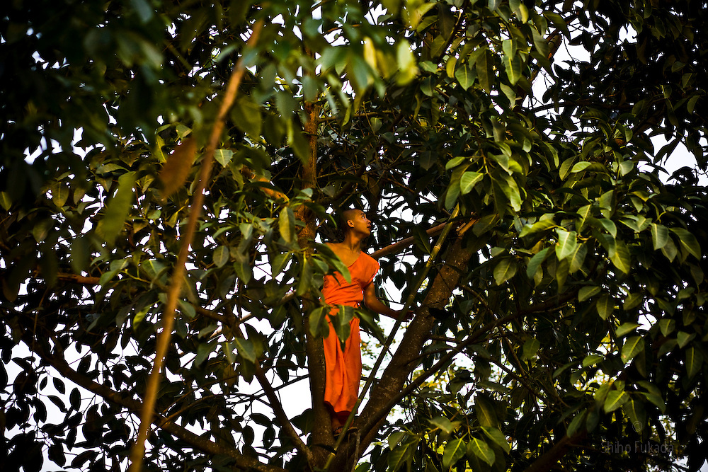 A local monk climbed a tree in a village outside of Dai Minority Park. Dai farmers grow rice and have rubber plantations in the hills. Even in the Dai park, most villagers still farm rubber for their primary income.