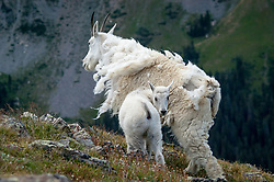 A mountain goat (Oreamnos americanus), also known as the Rocky Mountain goat and its kid graze on grasses on the slope of Byers Peak. Mountain goats are protected from harsh winter elements with their wooly double coats. Their undercoats of fine, dense wool is covered any an outer layer of longer, hollow hairs. In the spring, mountain goats molt rubbing their hair against bushes, trees and rocks to shed the thick wool during the warmer months. Mountain goats are herbivores spending most of their time grazing on grasses, plants and shrubs of their alpine habitat